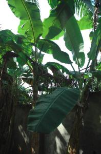 image of a young banana tree